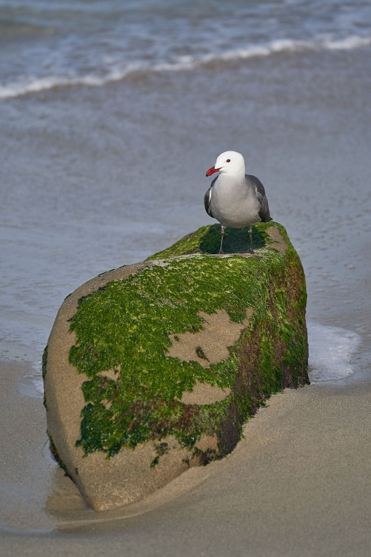 Heerman's-Gull-on-seaweed-covered-rock