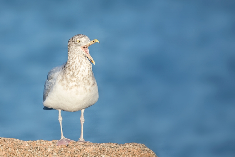 Herring-Gull-LIGHTER-winter-adult-yawning-_P3A0782--Shinnecock-Inlet,-Long-Island,-NY