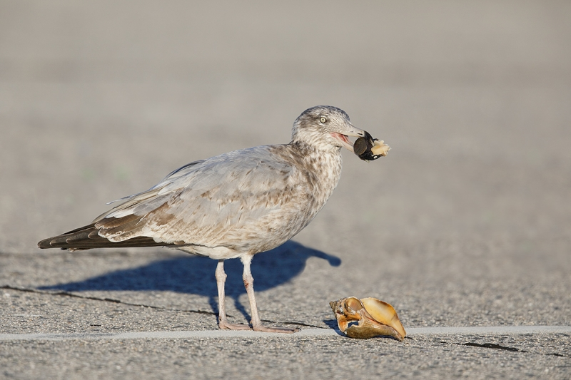 Herring-Gull-w-whelk-after-LAYERS-_W5A0344--Long-Island,-NY