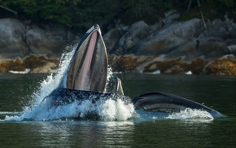Humpback-whale-feeding-for-fish_E7T6211-Gribbell-Island,-British-Columbia,-Canada
