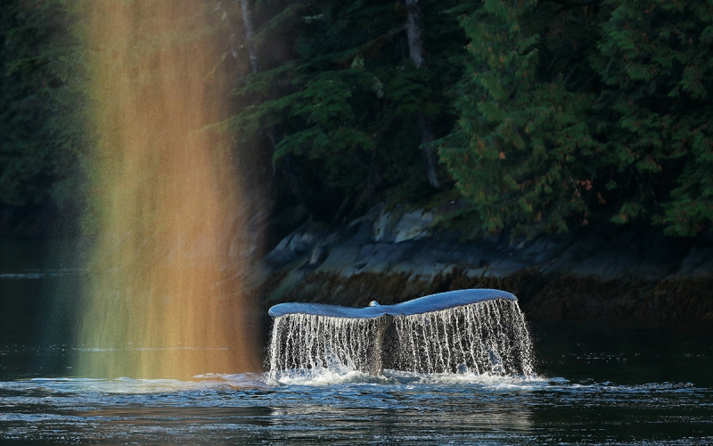 Humpback-whale-fluke-with-rainbow-spray_A3I1854-Gribbell-Island,-British-Columbia,-Canada,