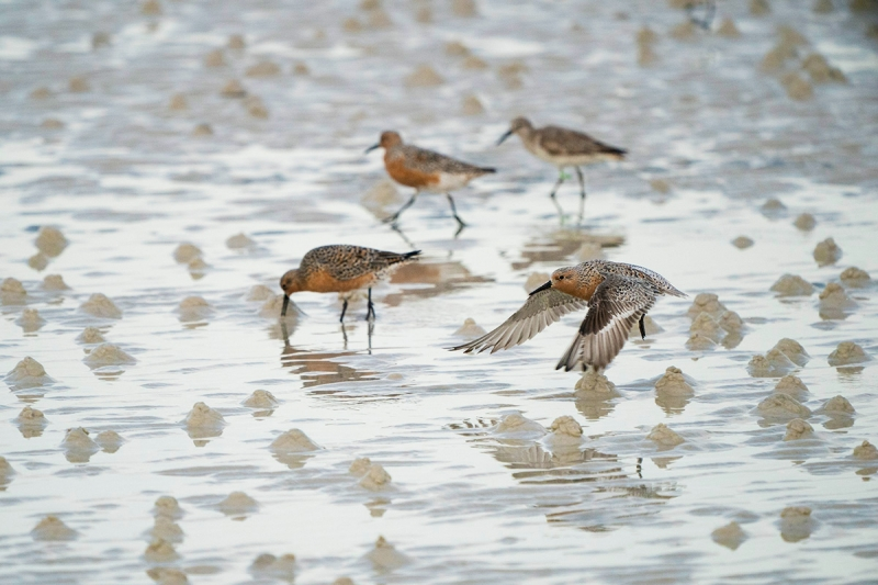 Jim-MIller-Red-Knots-1200-px-not-sharpened-Miller