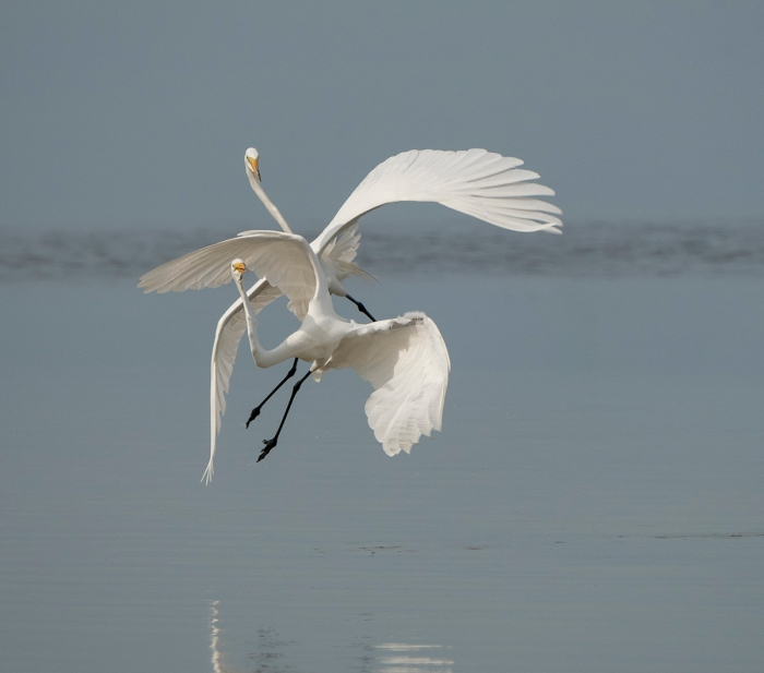 Jim-Miller-Great-Egrets-1200px-not-sharpened-Miller