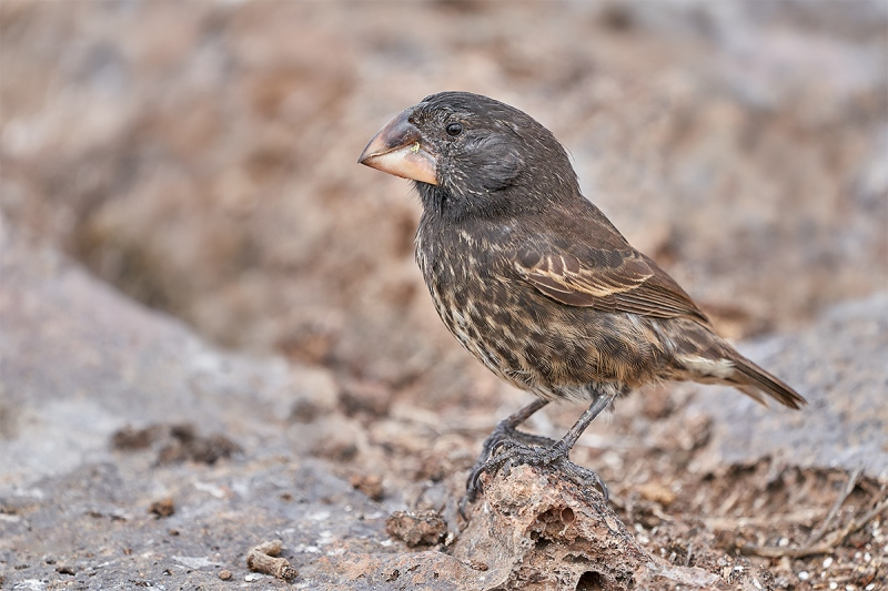 Large-billed-Ground-Finch-OPT-_A7R8244-Prince-Phillips-Steps-Tower-Island-Galapagos-1-1-1