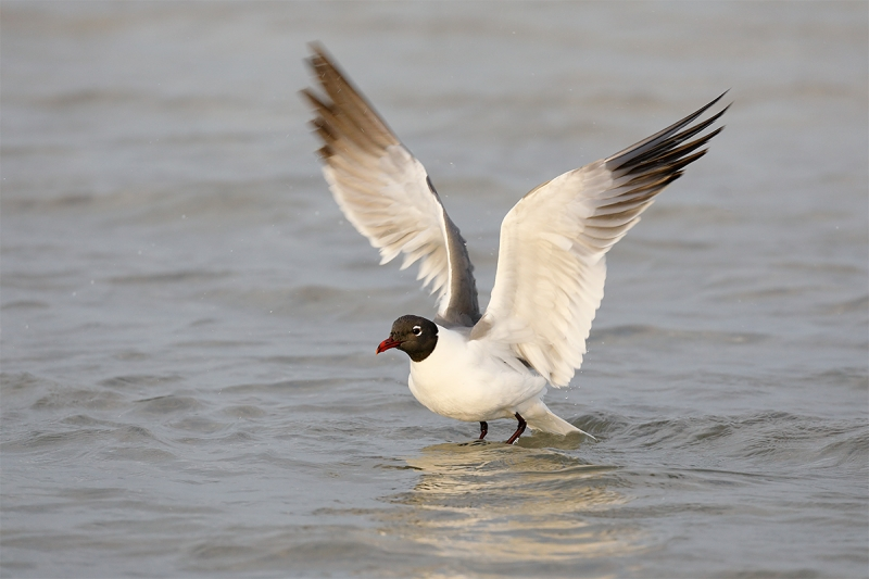 Laughing-Gull-flapping-after-bath