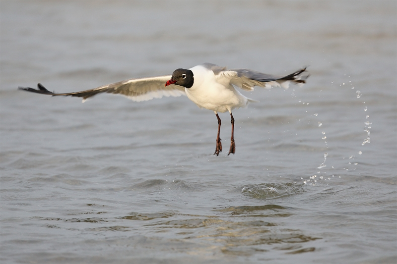 Laughing-Gull-jumping-after-bath-_P3A6736-Fort-DeSoto-Park-Tierra,-Verde,-FL