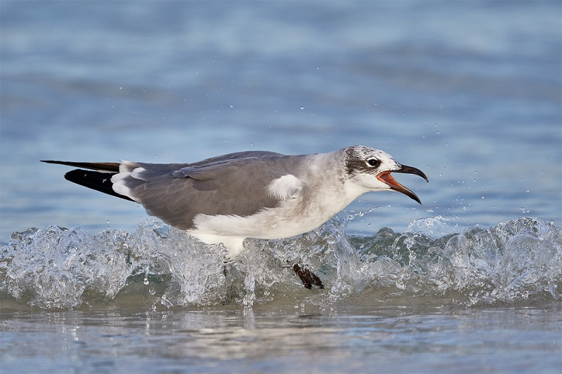 Laughing-Gull-screaming-in-surf-_DSC7130-Fort-DeSoto-Park-FL-1