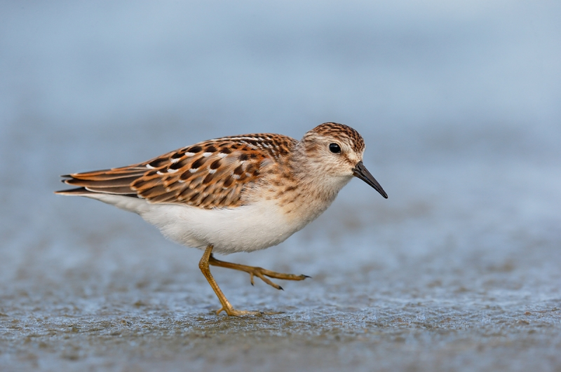Least-Sandpiper-fresh-juvenal-plumage-_Y7O5546--East-Pond,-Jamaica-Bay-WR,-Queens,-NYA