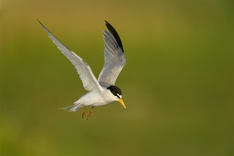 Least-Tern-coming-to-nest-scrape-_A9B0830-Fort-DeSoto-Parr-FL-1