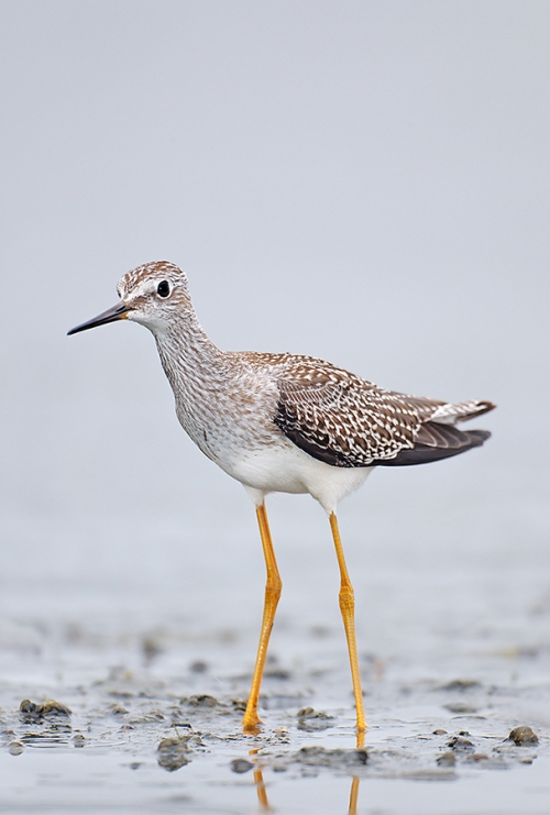 Lesser-Yellowlegs-juvenile-plumage-Robt_W3C3522---East-Pond,-Jamaica-Bay-Wildlife-Refuge,-Queens,-NY