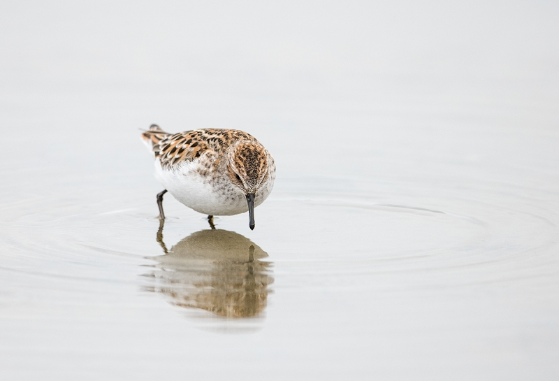 Little-Stint-in-breeding-plumage-foraging-_MAI3969--Norway