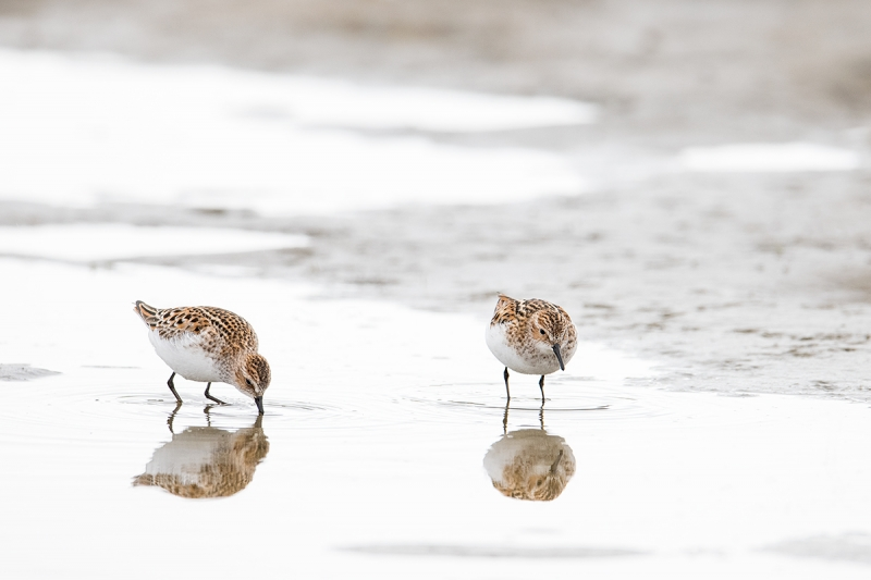 Little-Stints-in-breeding-plumage-foraging-_MAI3955--Norway