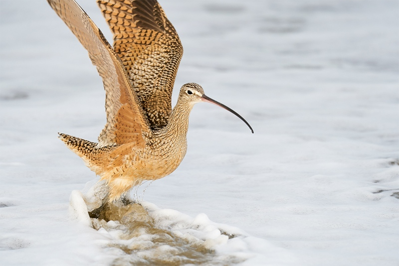 Long-billed-Curlew-taking-flight-_A921484-Morro.-Bay-CA-1