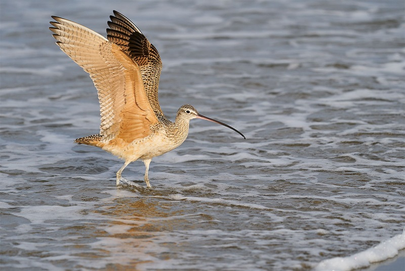 Long-billed-Curlew-with-wings-raised-_A927282-Morro.-Bay-CA-1