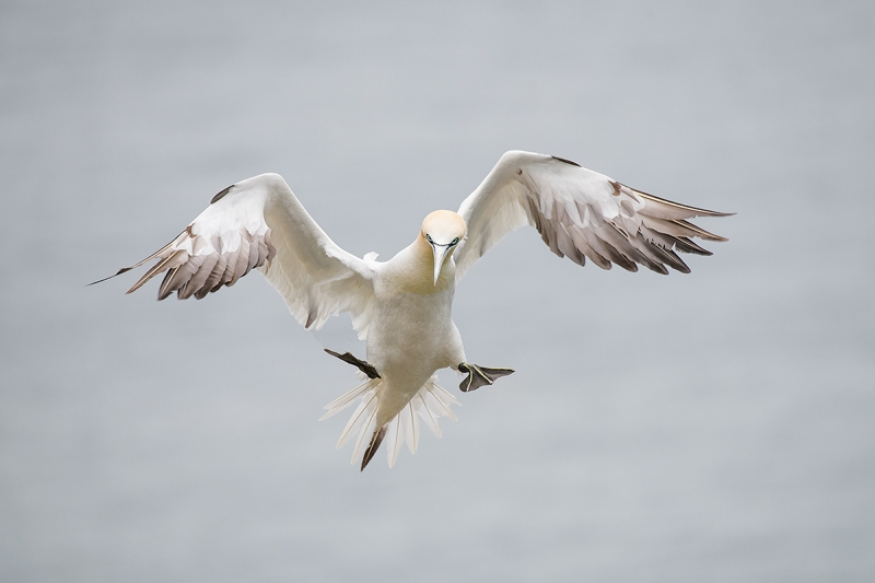 Norhtern-Gannet-darker-braking-to-land-_MAI7714-Bmpton-Cliffs,-UK