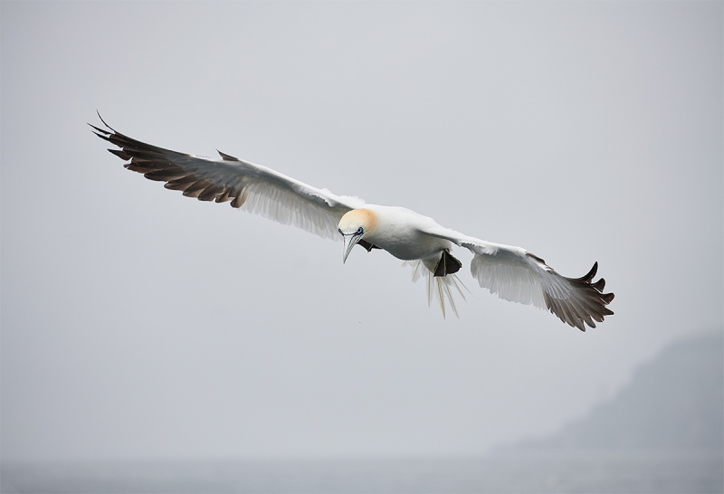Northern-Gannet-adult-inj-flight-near-BAss-Rock-_BUP6302-Dunbar-Scotland-1