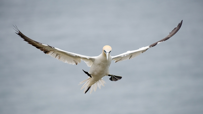 Northern-Gannet-braking-to-land---_MAI7713-Bmpton-Cliffs,-UK