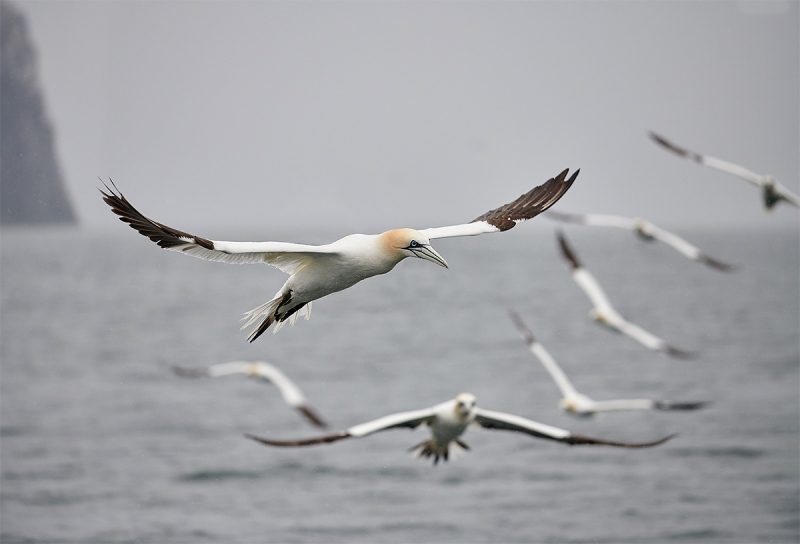 Northern-Gannet-formation-and-Bass-Rock-_BUP5707-Dunbar-Scotland-1