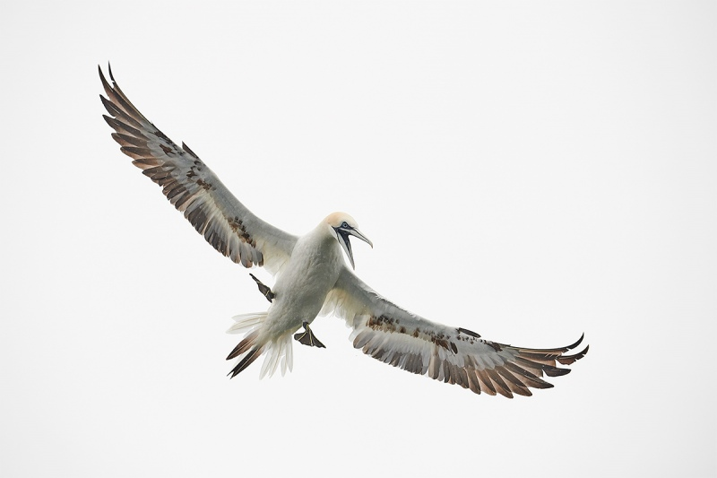 Northern-Gannet-immature-ready-to-dive-_BUP6097-Dunbar-Scotland-1