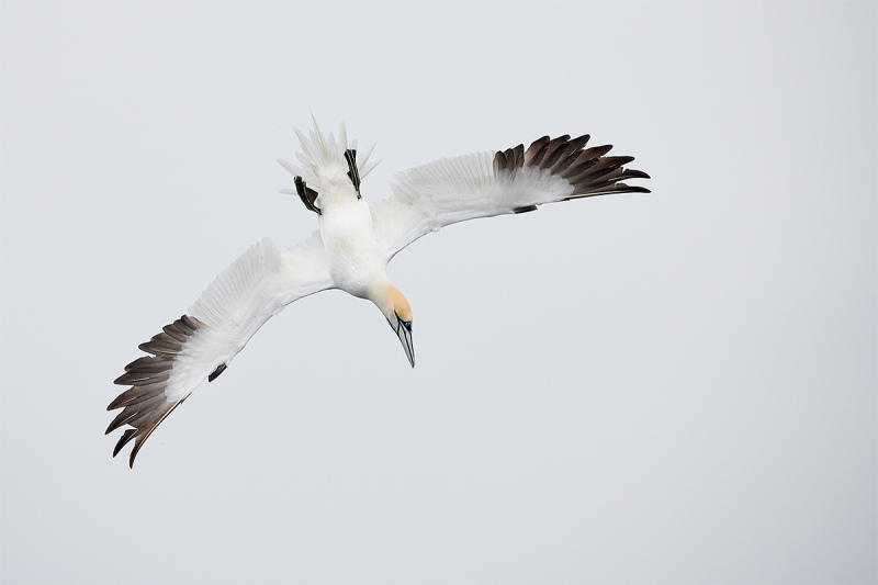 Northern-Gannet-upside-down-dive-_BUP5986-Dunbar-Scotland-1