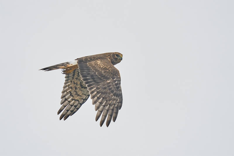 Northern-Harrier-looking-back-in-flight-A-_A923120Smith-Point-TX-1