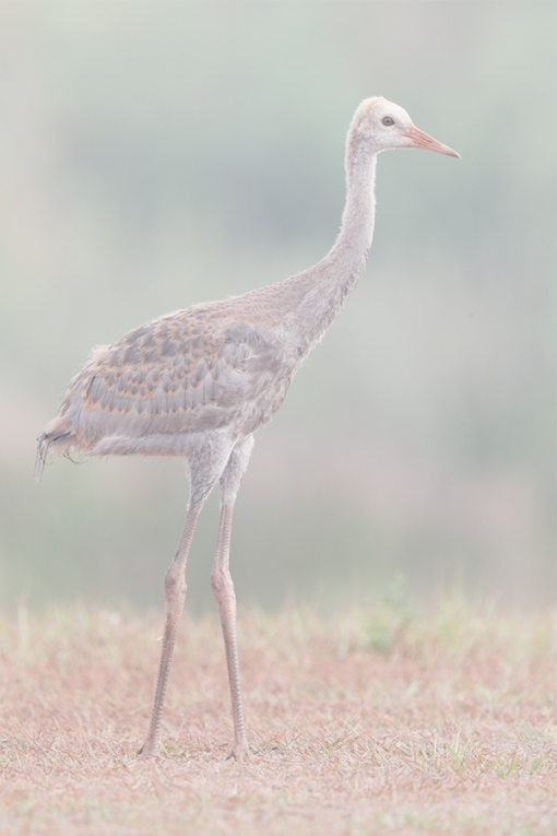 ORIG-Sandhill-Crane-colt-on-foggymorning-_A0I1135-Indian-Lake-Estates,-FL-copy