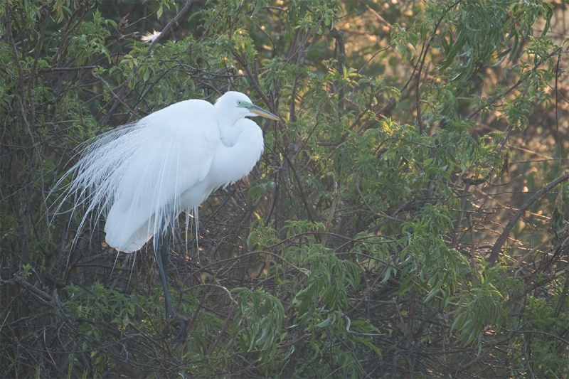 ORIG-backlit-great-egret-_DSF3669-Gatorland,-Kissimmee,-FL