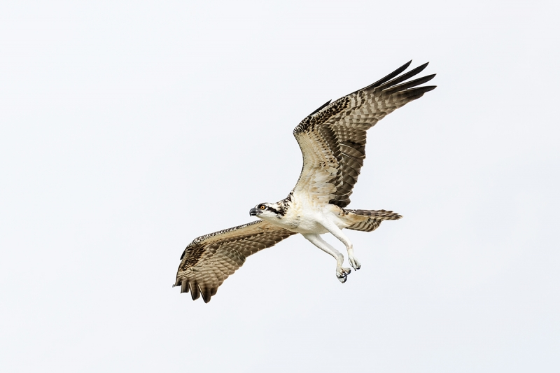 Osprey-fresh-juvenile-in-flight-_DSC1274-Indian-Lake-Estates,-FL