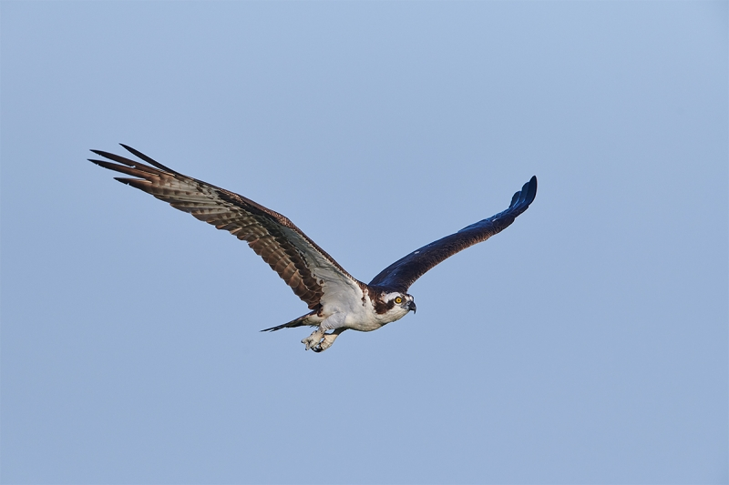 Osprey-in-level-flight-_BUP7127--Indian-Lake-Estates-FL-1