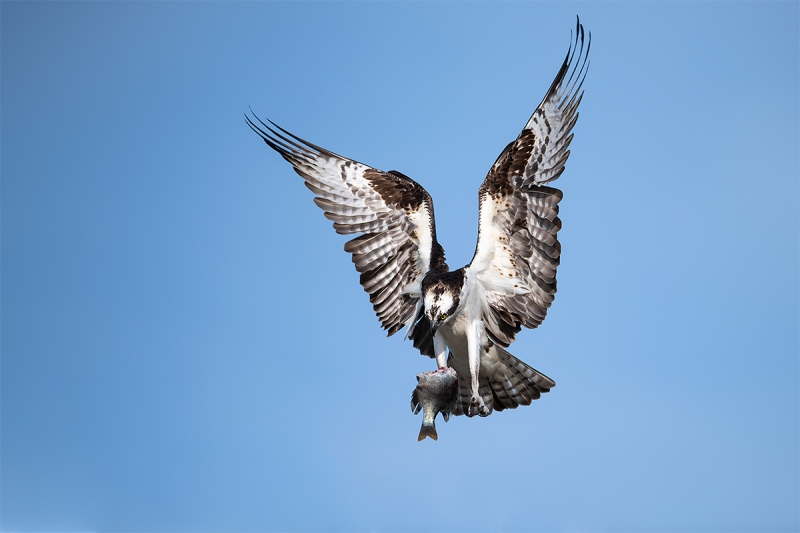 Osprey-landing-with-half-eaten-fish-for-young-_MAI0712-Indian-Lake-Estates-FL