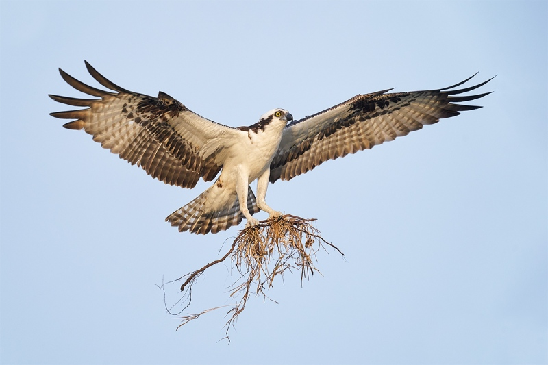 Osprey-landing-with-nesting-material-_A925141-Indian-Lake-Estates-FL-2