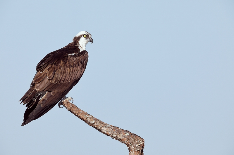 Osprey-perched-adult-_W5A8261--Indian-Lake-Estates,-FL