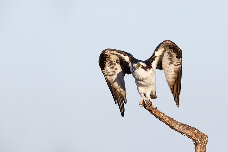 Osprey-ready-for-take-off-_W5A9535--Indian-Lake-Estates,-FL