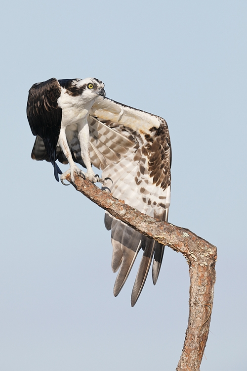 Osprey-wing-stretch-_W5A5020--Indian-Lake-Estates,-FL