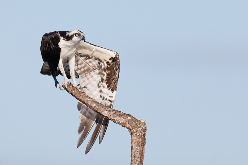 Osprey-wingstretch-_V6A8070Indian-Lake-EState