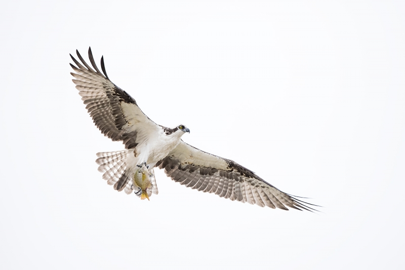 Osprey-with-bream-_DSC1348