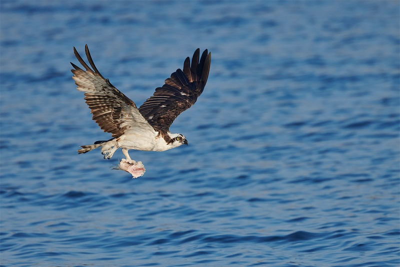Osprey-with-half-eaten-fish-_BUP2078-Indian-Lake-Estates-FL