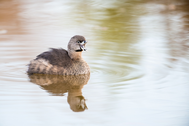 Pied-billed-Grebe-calling-_DSC2704--Riparian-Preserve-at-Gilbert-Water-Ranch,-Phoenix,-AZ