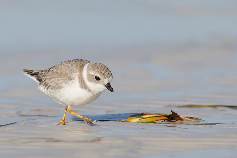 Piping-Plover-worn-juvenile-walking--_W5A9483-Fort-DeSoto-Park,-Pinellas-County,-FL--copy