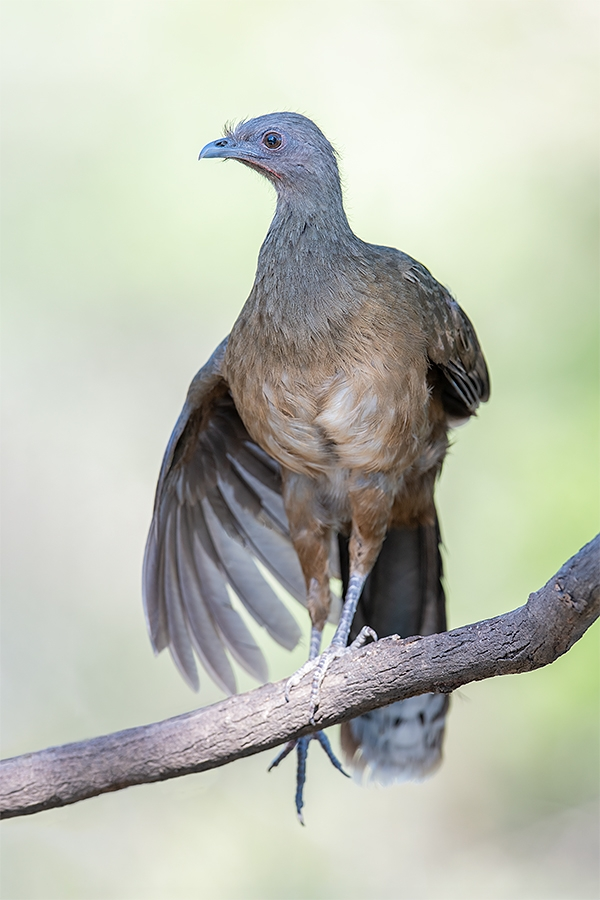 Plain-Chachalaca-wingstretch-_MAI5464-Ramirez-Ranch-Roma-TX