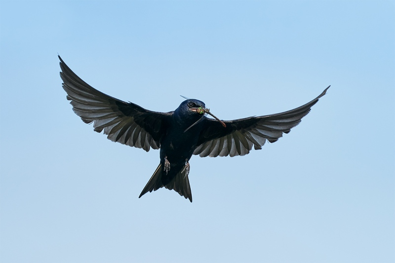 Purple-Martin-male-with-Green-Darner-dragonfly-_A925078-Indian-Lake-Estates-FL-1