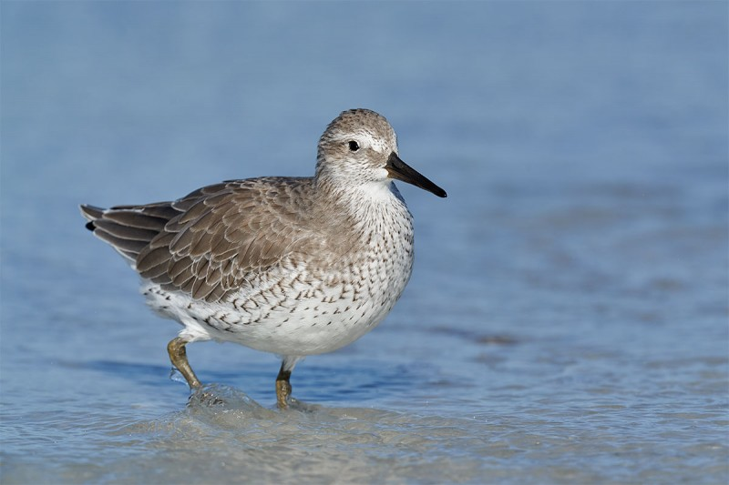 Red-Knot-adult-in-basic-plumage-_DSC2796-Fort-DeSoto-Park-Pinellas-County-FL-1