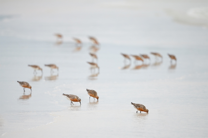 Red-Knot-flock-feeding-in-surf-_BUP4587--Fort-DeSoto-Park,-Tierra-Verde-FL-2