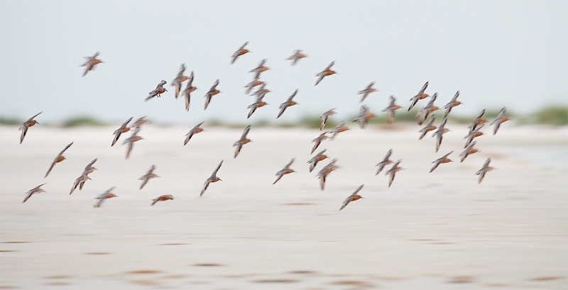 Red-Knot-flock-flight-blur-_BUP5854-Fort-DeSoto-Park-Tierra-Verde-FL-1