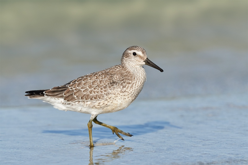 Red-Knot-juvenal-plumage-_DSC2717-Fort-DeSoto-Park-Pinellas-County-FL-1