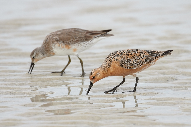 Red-Knots-different-plumages-foraging--_BUP4695--Fort-DeSoto-Park,-Tierra-Verde-FL-1