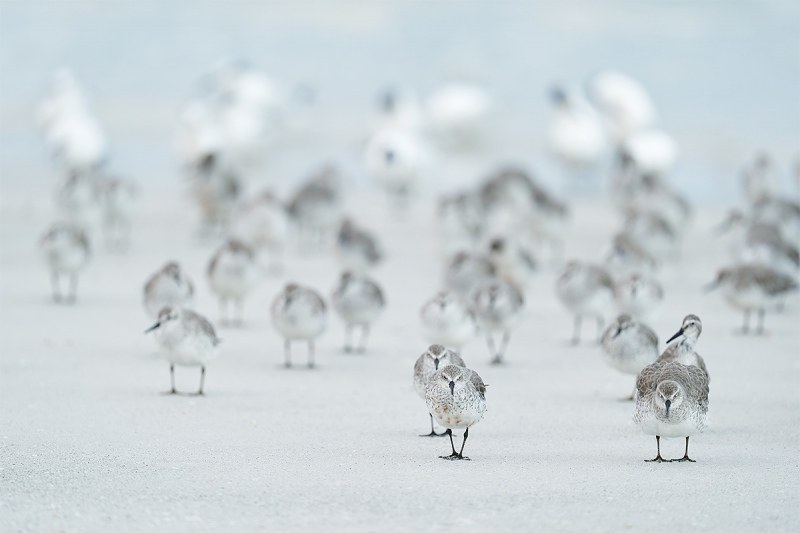 Red-Knots-on-beach-with-terns-_A9B4816-Fort-DeSoto-Park-FL-1