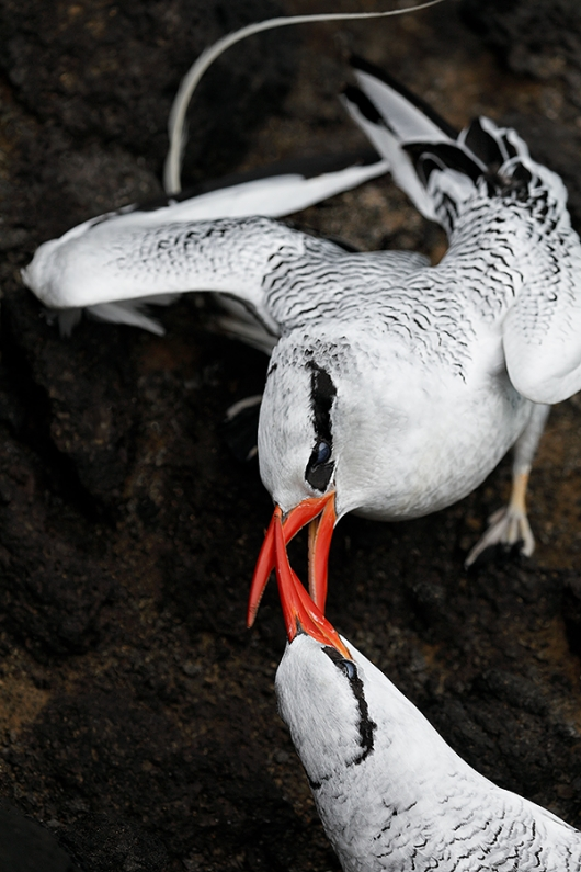 Red-billed-Tropicbird-pair-courting-on-legde-_P3A7401-South-Plaza-Island,-Galapagos,-Ecuador