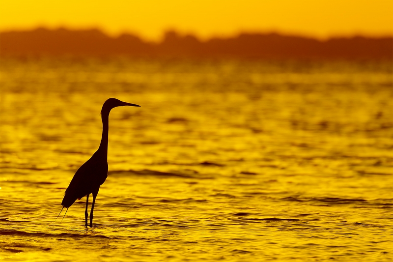 Reddish-Egret-at-sunrise-_A0I2816-Fort-DeSoto-Pak,-Tierra-Verde,-FL