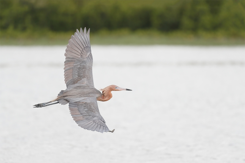 Reddish-Egret-in-flight-_A0I1468-Fort-DeSoto-Pak,-Tierra-Verde,-FL